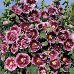 Hollyhock Creme de Cassis (Large Plant)  2 x 1 litre potted hollyhock plants