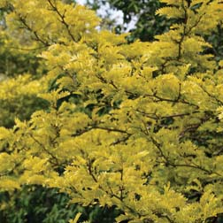 Honey Locust Tree - Part of the Alan Titchmarsh Collection - 1 bareroot