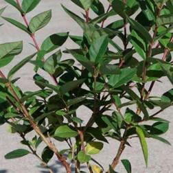 Honeysuckle Winter Beauty (Large Plant)  1 x 3.5 litre potted honeysuckle plant