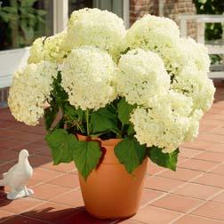 Hydrangea arborescens 'Annabelle' - 3 plants in 9cm pots