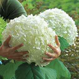 Hydrangea arborescens 'Incrediball' - 2 plants in 9cm pots