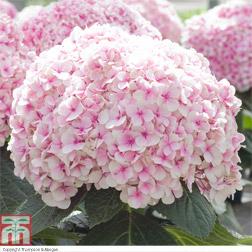 Hydrangea 'Avantgarde'® - 2 plants in 10.5cm pots