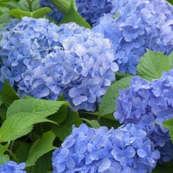 Hydrangea macrophylla Blue Danube (Large Plant)  1 x 3.5 litre potted hydrangea plant