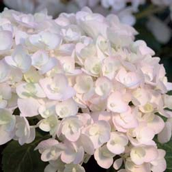 Hydrangea macrophylla Endless Summer  Blushing Bride (Large Plant)  1 x 5 litre potted hydrangea plant