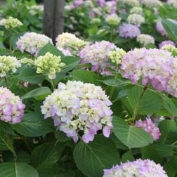 Hydrangea macrophylla Endless Summer  The Original (Large Plant)  1 x 3 litre potted hydrangea plant