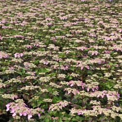 Hydrangea macrophylla Endless Summer  Twist & Shout (Large Plant)  1 x 3 litre potted hydrangea plant