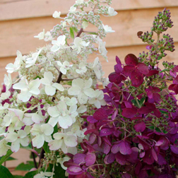 Hydrangea paniculata Candlelight (Large Plant)  1 x 3.5 litre potted hydrangea plant