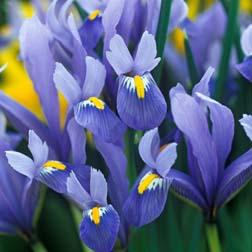 Iris reticulata 'Cantab' - 48 bulbs