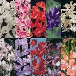 Sweet Pea Collection - 10 packets - 1 of each variety (230 seeds in total)