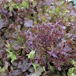 Lettuce 'Red Salad Bowl' (Loose-Leaf) - Vita Sementi® Italian Seeds - 1 packet (4000 seeds)