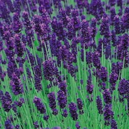 Lavender 'Hidcote' - Part of the Alan Titchmarsh Collection - 5 jumbo plugs