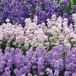 Lavender Collection - 15 jumbo plugs - 5 of each variety