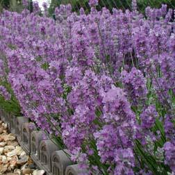 Lavender 'Little Lady' - 5 jumbo plugs