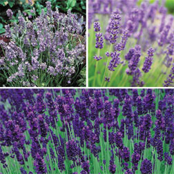 Lavender Collection  18 lavender plug plants  6 of each variety
