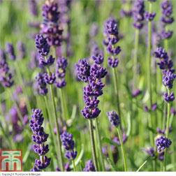 Lavender Hidcote  6 lavander plug plants