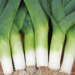 Leek 'Cairngorm' F1 Hybrid - 1 packet (40 seeds)