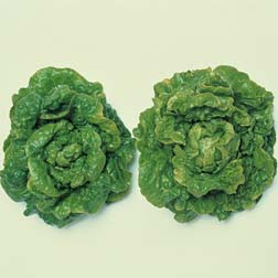 Lettuce 'Tom Thumb' (Butterhead) - 1 packet (1350 seeds)