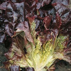 Lettuce 'Nymans' (Cos) - 1 packet (350 seeds)