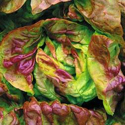 Lettuce 'Yugoslavian Red' (Butterhead) - 1 packet (350 seeds)