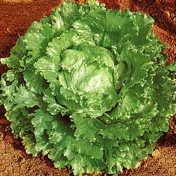 Lettuce 'Webbs Wonderful' (Iceberg/Crisphead) - 1 packet (1500 seeds)