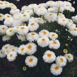 Leucanthemum 'Engelina' - 3 jumbo plugs
