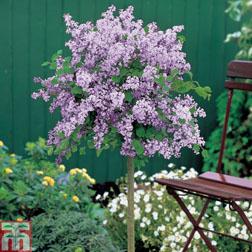 Lilac `Palibin` (Large Plant) 2 x 3.5 litre potted lilac plants