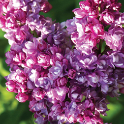Lilac `Katherine Havemeyer` (Large Plant) 1 x 3.5 litre potted lilac plant