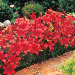 Lily 'Red Carpet' - 32 bulbs