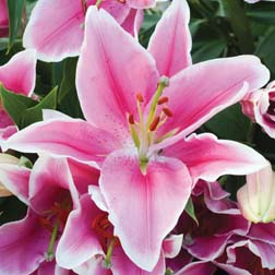 Lily `Defender Pink` 5 Lily bulbs
