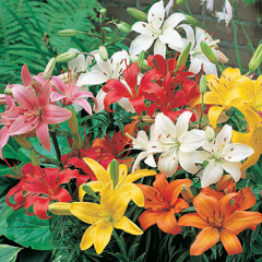 Lily Asiatic Full Garden Bumper Crate (Ground Cover) - 1 crate (450 bulbs)