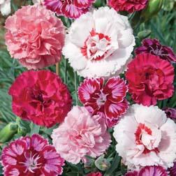 Dianthus Lucky Dip - 1 lucky dip - pinks