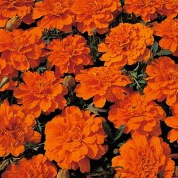 Marigold `Durango Tangerine` F1 Hybrid 1 packet (40 marigold seeds)