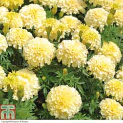 Marigold `French Vanilla` F1 Hybrid 1 packet (20 marigold seeds)
