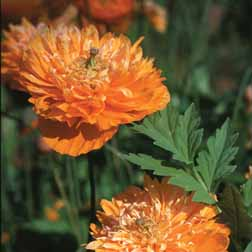 Meconopsis cambrica 'Double Mixed' - 1 packet (50 seeds)