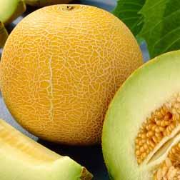 Melon 'Outdoor Wonder' F1 Hybrid - 6 x 5cm potted plants