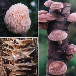 Mushroom Gourmet Collection - 90 dowels - 30 of each variety