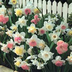 Narcissus 'Pretty in Pink' Collection - 30 bulbs