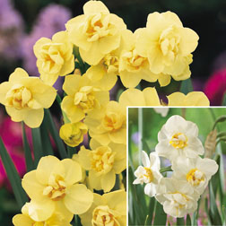 Narcissus Cheerfulness Duo  40 narcissus bulbs  20 of each variety