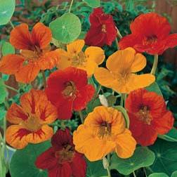 Nasturtium 'Tom Thumb' - Kew for Kids Children's Seeds - 1 packet (40 seeds)