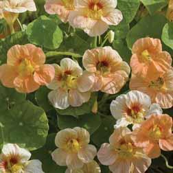 Nasturtium minus `Just Peachy` 1 packet (17 nasturtium seeds)