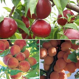 Nectarine,Peach and Apricot Collection - 3 feathered maidens - 1 of each variety