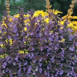 Nepeta transcaucasica* Blue Infinity - 1 packet (45 seeds)