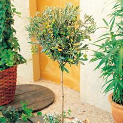 Olive Tree (Standard) - 2 Olive plants