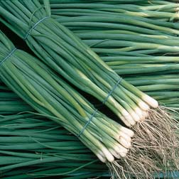 Spring Onion 'Summer Isle' - 1 packet (500 seeds)