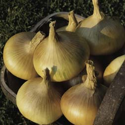 Onion 'Senshyu' (Autumn Planting) - 1 pack