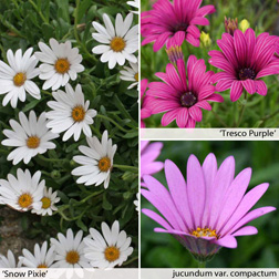 Image of Osteospermum Collection (Hardy) - 9 osteospermum jumbo plug plants - 3 of each variety