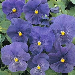 Pansy `True Blue` 1 packet (40 pansy seeds)