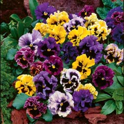 Pansy `Frizzle Sizzle` Mixed 36 pansy plug plants
