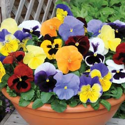 Pansy 'Most Scented Mix' - 36 plugs