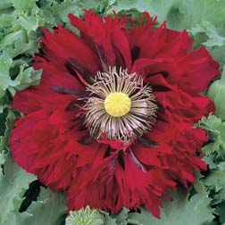 Poppy 'Seriously Scarlet' - 1 packet (100 seeds)
